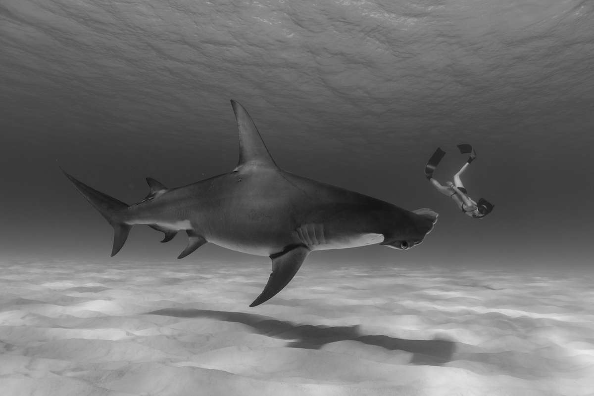 Hammerhead shark and diver in the Bahamas (Jean-Marie Ghislain)
