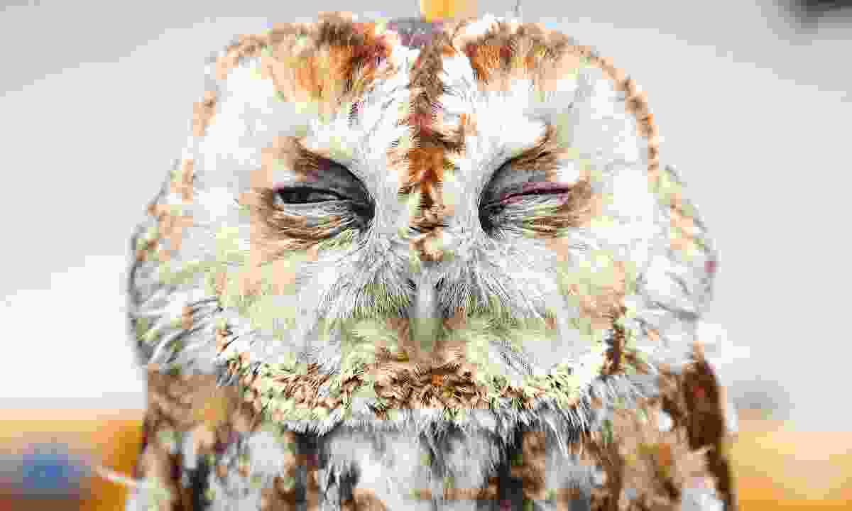A sleepy tawny owl at the new British Bird of Prey Centre (Graeme Green)