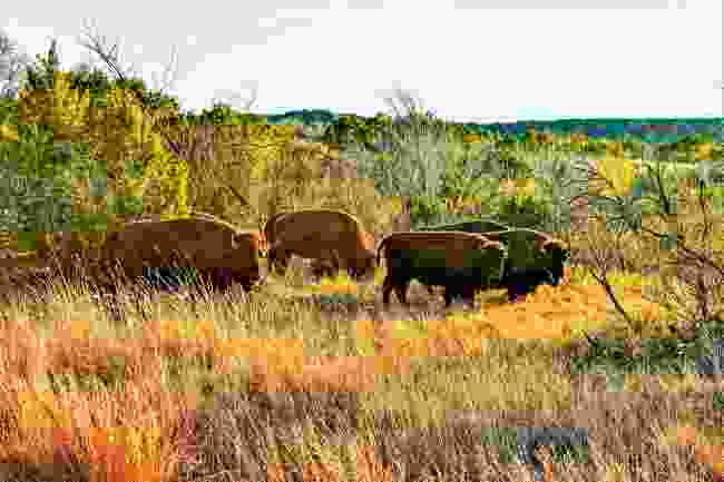 Texas' official roaming bison herd (Shutterstock)