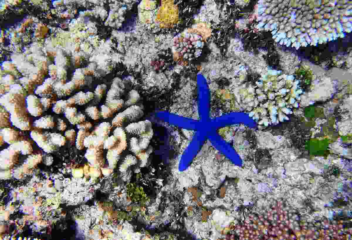 A starfish amongst the coral of the Great Barrier Reef (Dreamstime)