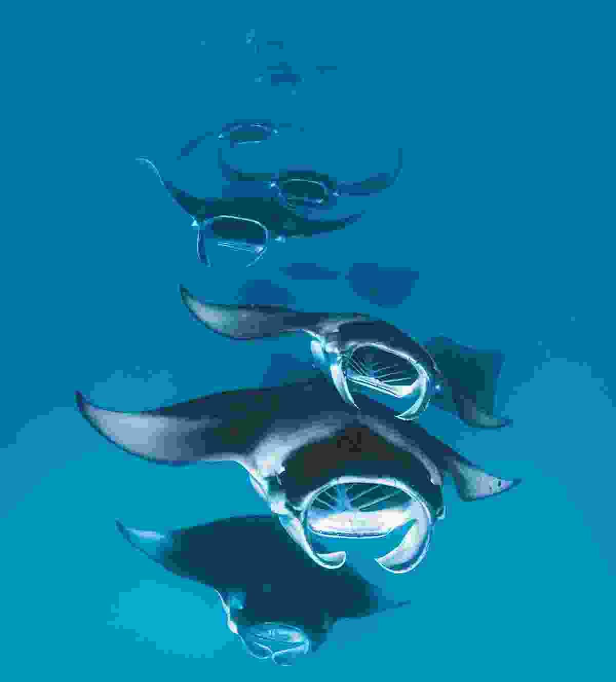 Manta rays in formation (Doug Perrine/naturepl.com)