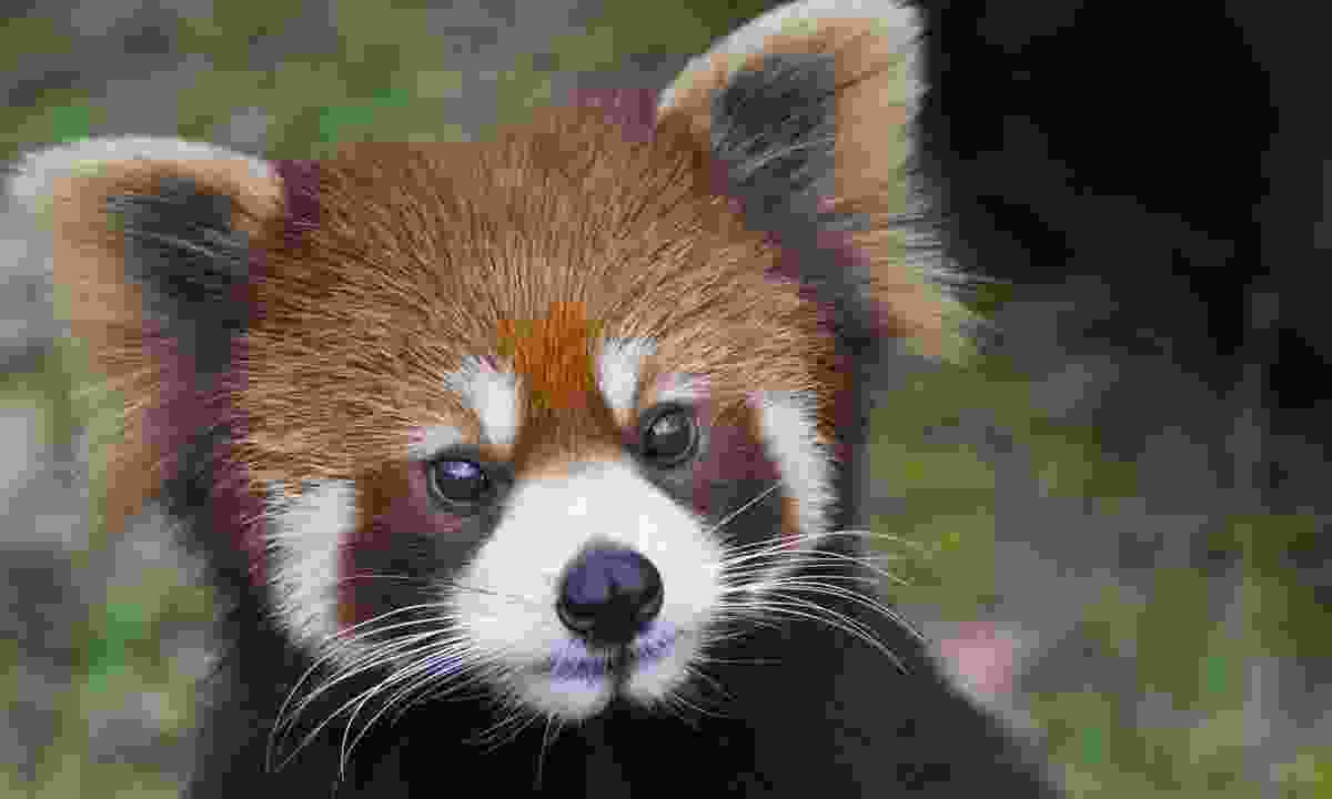A red panda (Dreamstime)