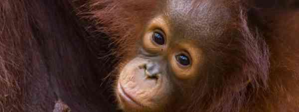 Baby orang-utan (Dreamstime)