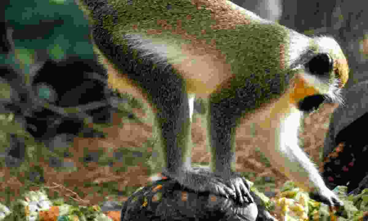 A green monkey (visitbarbados.org)