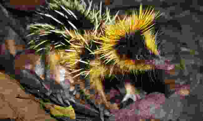 A streaked tenrec in the rainforest of Ranomafana, Madagascar (Shutterstock)