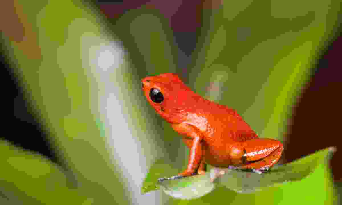 A red dart frog in Panama (Shutterstock)