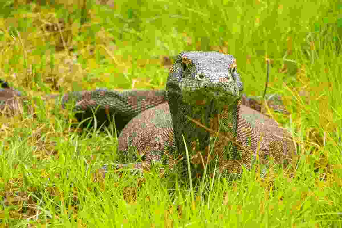 Komodo dragon on Rinca (Dreamstime)