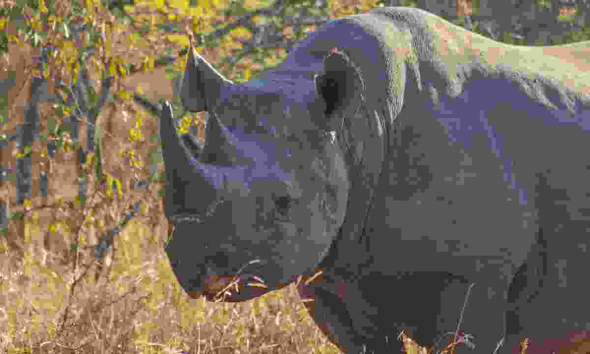 Black Rhino (Dreamstime)