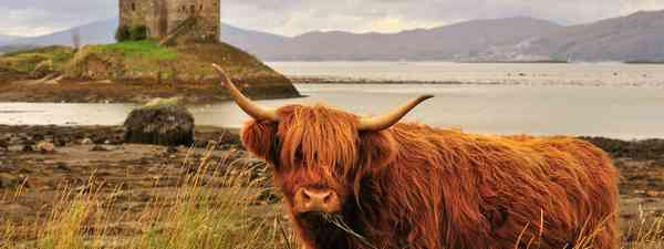 Highland cow (Dreamstime)