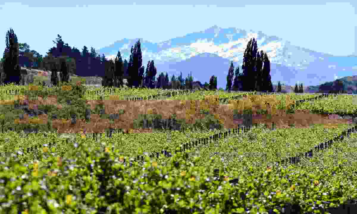 Visit one of New Zealand's vineyards (Dreamstime)