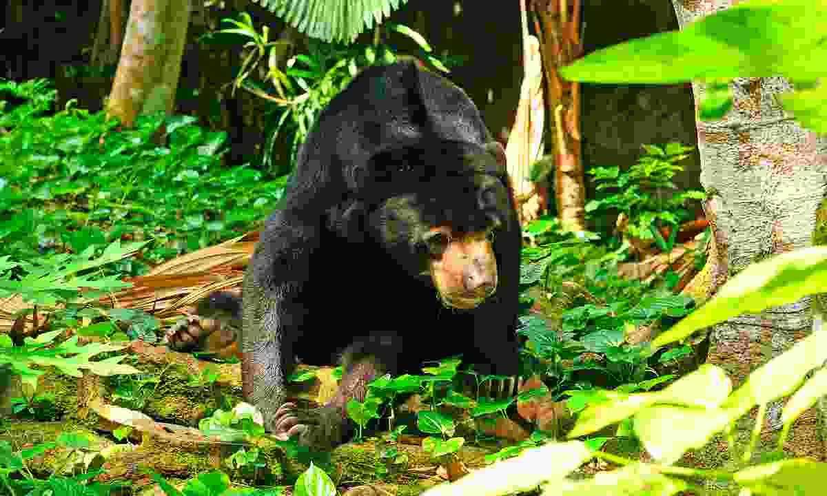 A sun bear in the jungle (Dreamstime)