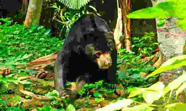 A sun bear in the jungle (Dreamstime)