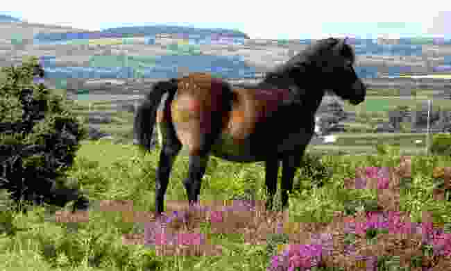 A pony in Murlough National Nature Reserve (Dreamstime)