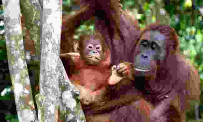Orangutans in Borneo (Dreamstime)