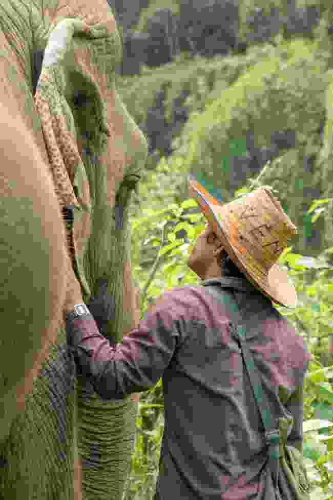 A mahout checks on the well-being of his charge at Elephant Haven, Kanchanaburi, Thailand (Julia Wainwright)