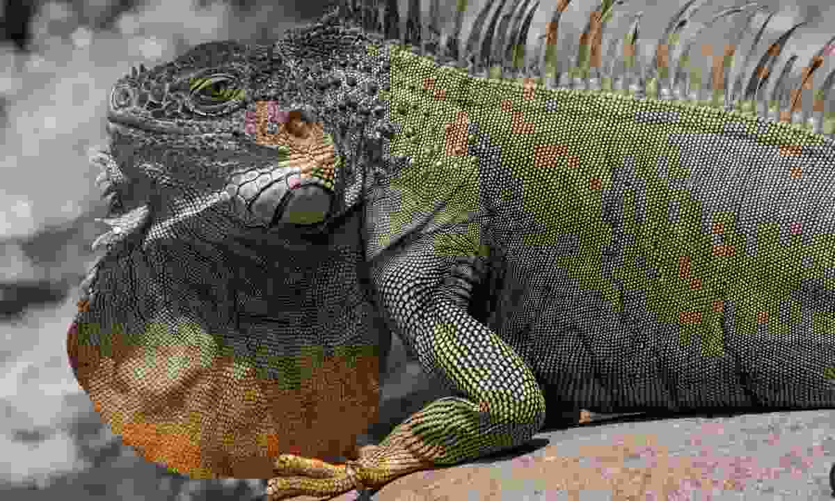 Look out for iguanas in Costa Rica