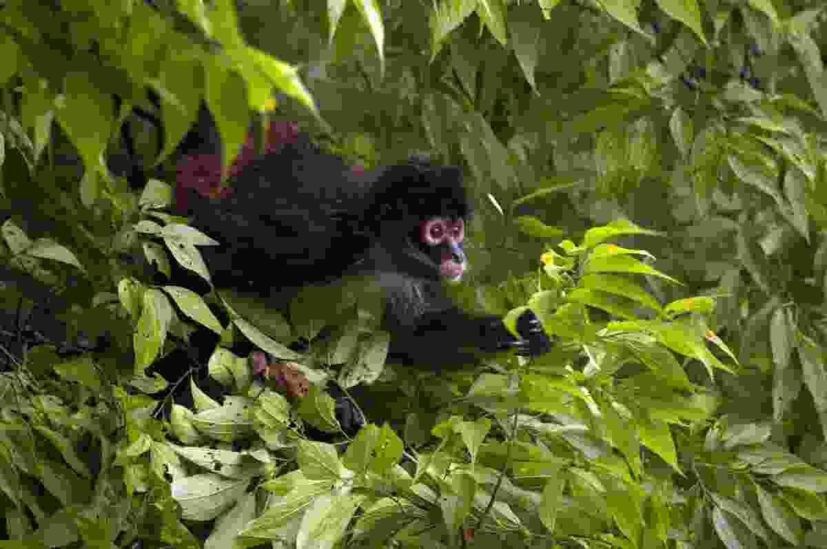 A spider monkey in Tikal, Guatemala (Shutterstock)