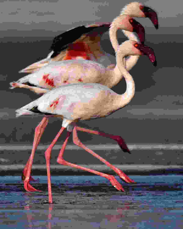 Flamingoes walking on Lake Natron (Shutterstock)