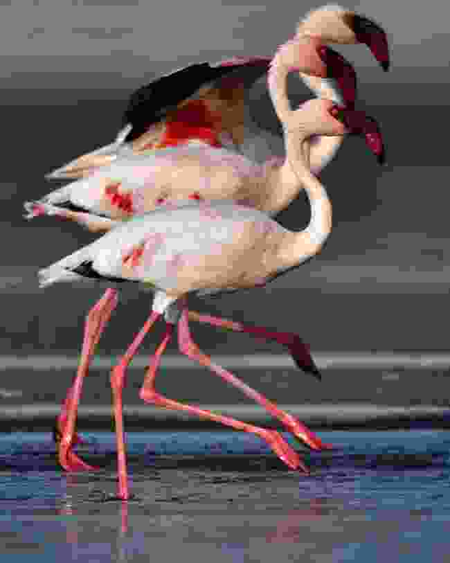 Flamingoes walking on Lake Natron (Shutterstock)