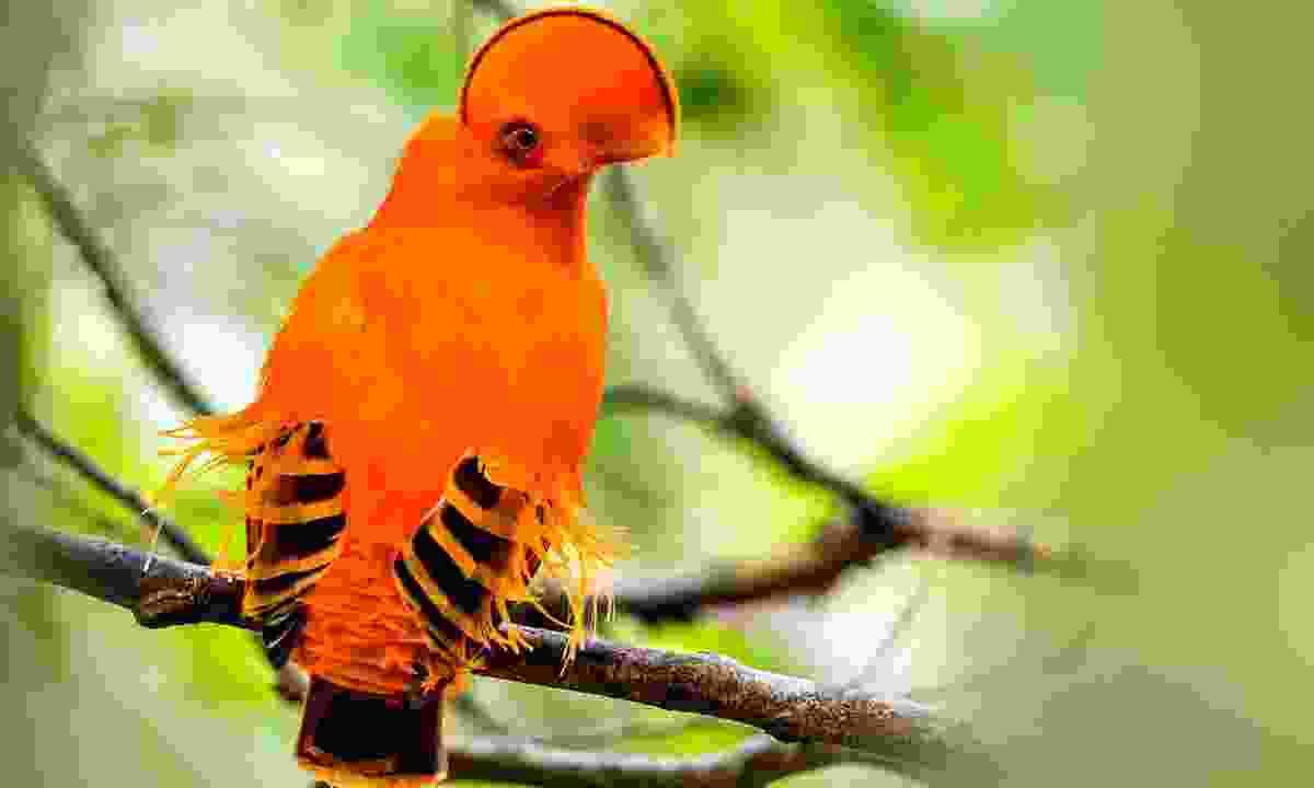 A  Guianan cock of the rock (Shutterstock)