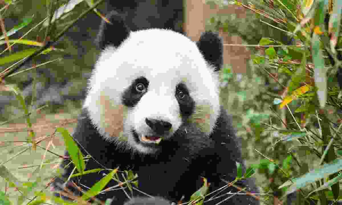 A giant panda eating bamboo in Chengdu (Shutterstock)