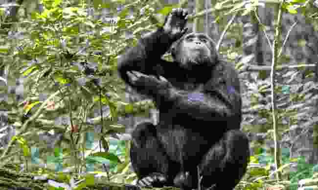 A chimp enjoys a scratch in Gombe Stream National Park (Shutterstock)