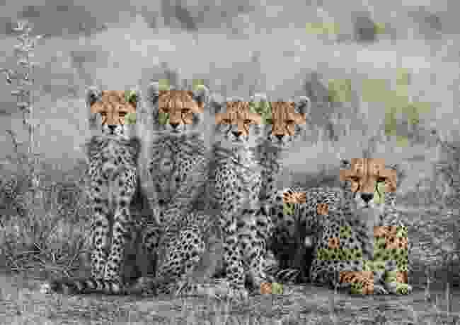 Cheetah family, Ndutu, Tanzania (Annie Nash)
