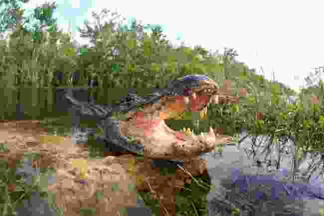 An alligator in Florida, USA (Shutterstock)