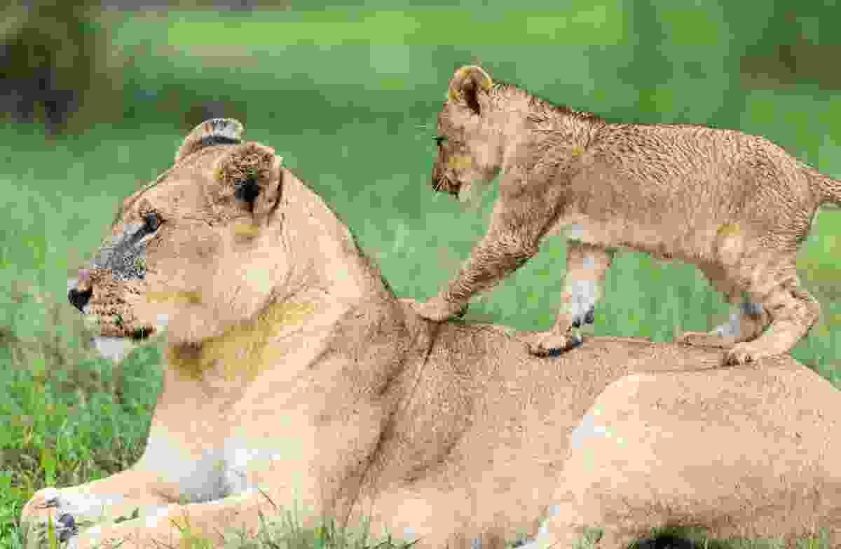Walk on Mother's back, Lions, Mombo, Okavango Delta, Botswana (Photo © 2018 Michael Poliza)