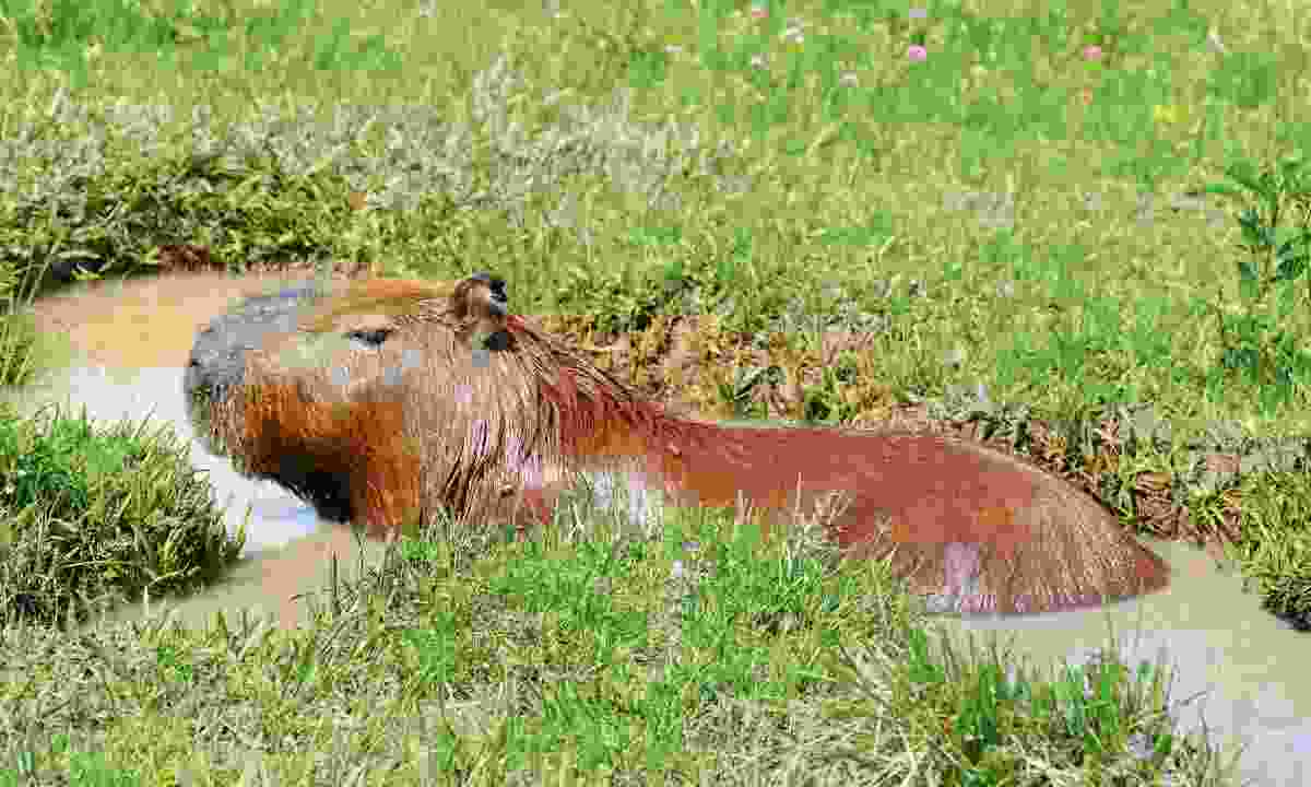 Capybara are the world's largest, and cutest, rodent (Sarah Gilbert)