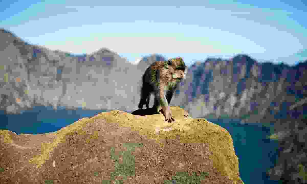 A macaque stalks the trek to Mount Rinjani on Lombok (Mark Stratton)