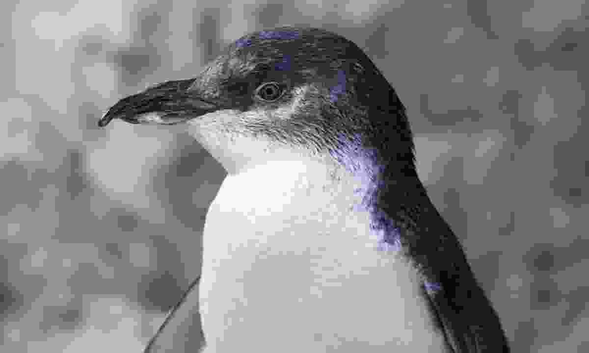 A little penguin in Australia (Dreamstime)