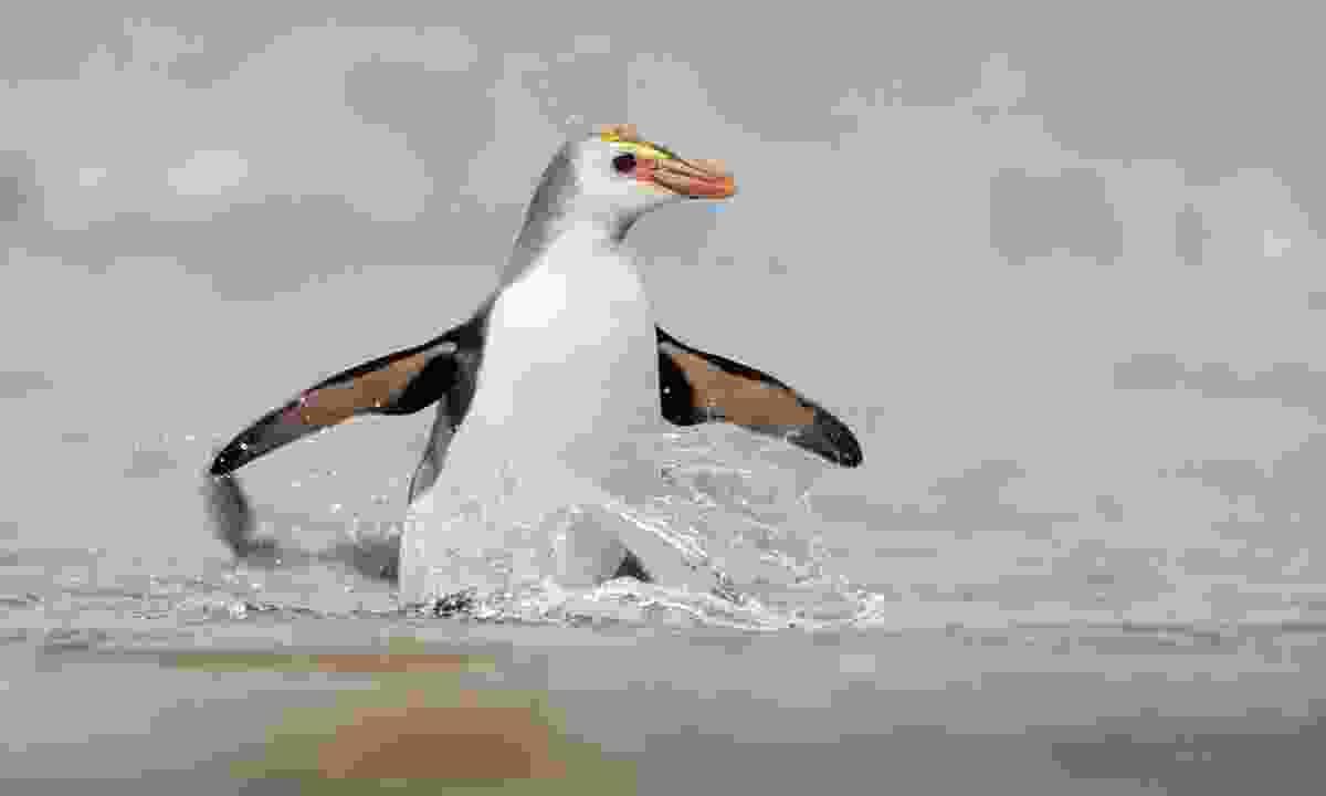 A royal penguin on Macquarie Island (Dreamstime)
