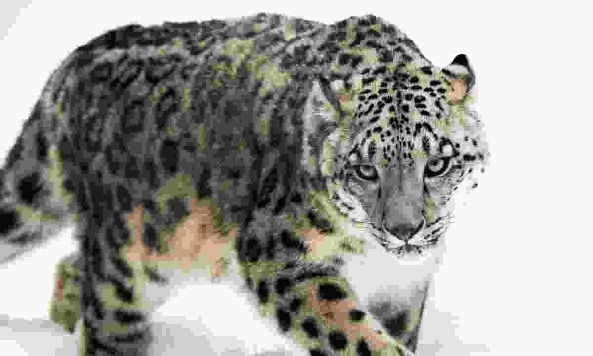 Snow leopard (Dreamstime)