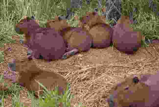 Capybara (Simon Chubb)