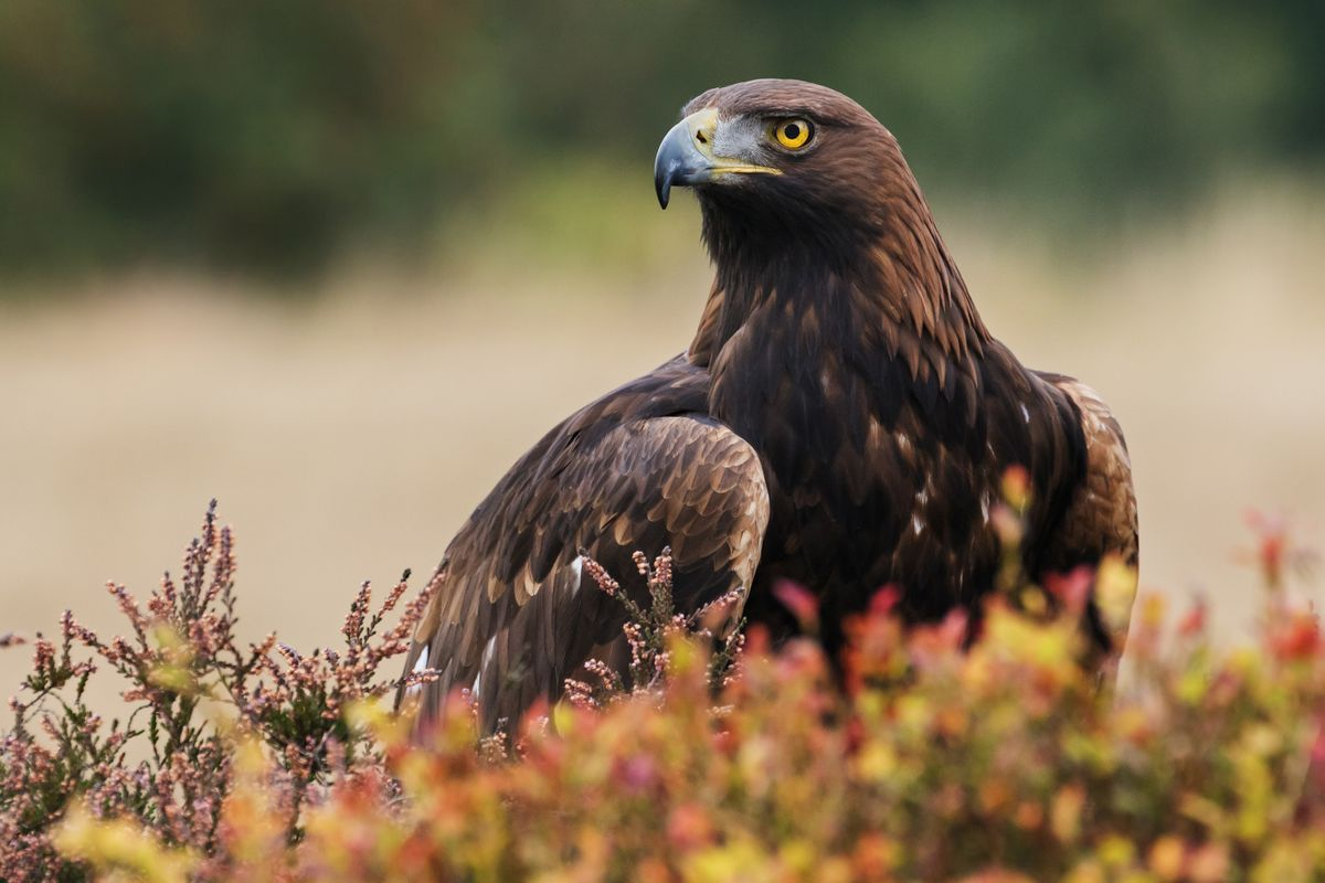 Where can you see golden eagles in Scotland?