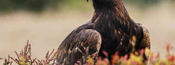 A proud golden eagle in the Scottish Highlands (Shutterstock)