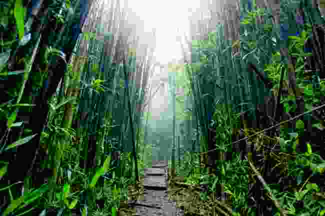The bamboo forest of Green Mountain, Ascension Island (Shutterstock)