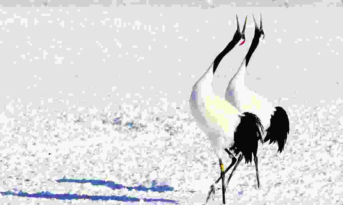 The iconic red-crowned crane (Graeme Green)