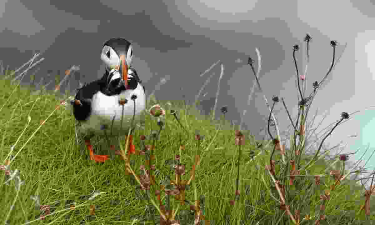 A puffin on Raithlin Island (Bernie Brown)