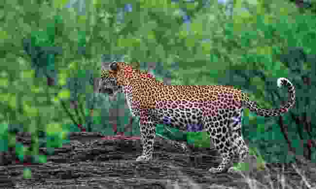 The leopard is a solitary creature (Shutterstock)