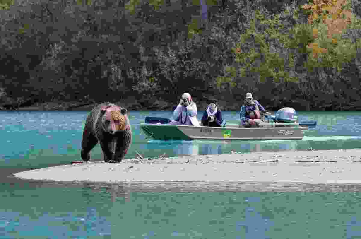 Travellers photographing a brown bear (Juno Kim, Runaway Juno)