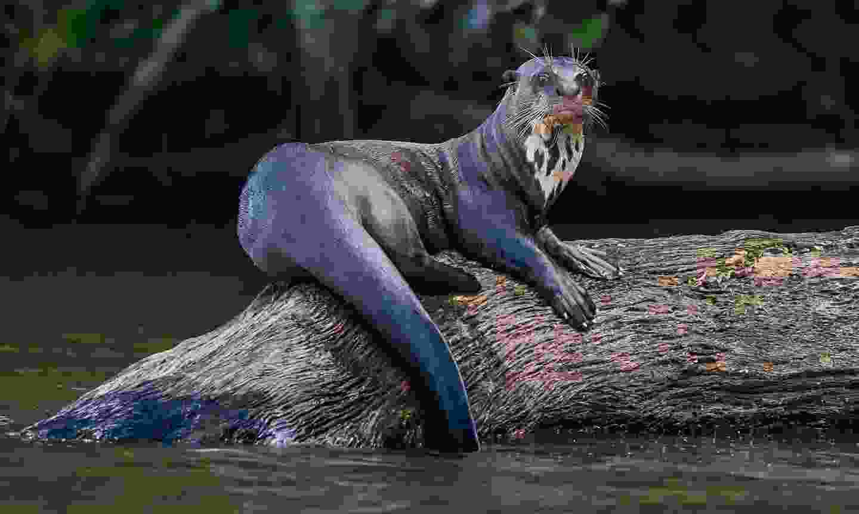 A giant river otter (Shutterstock)