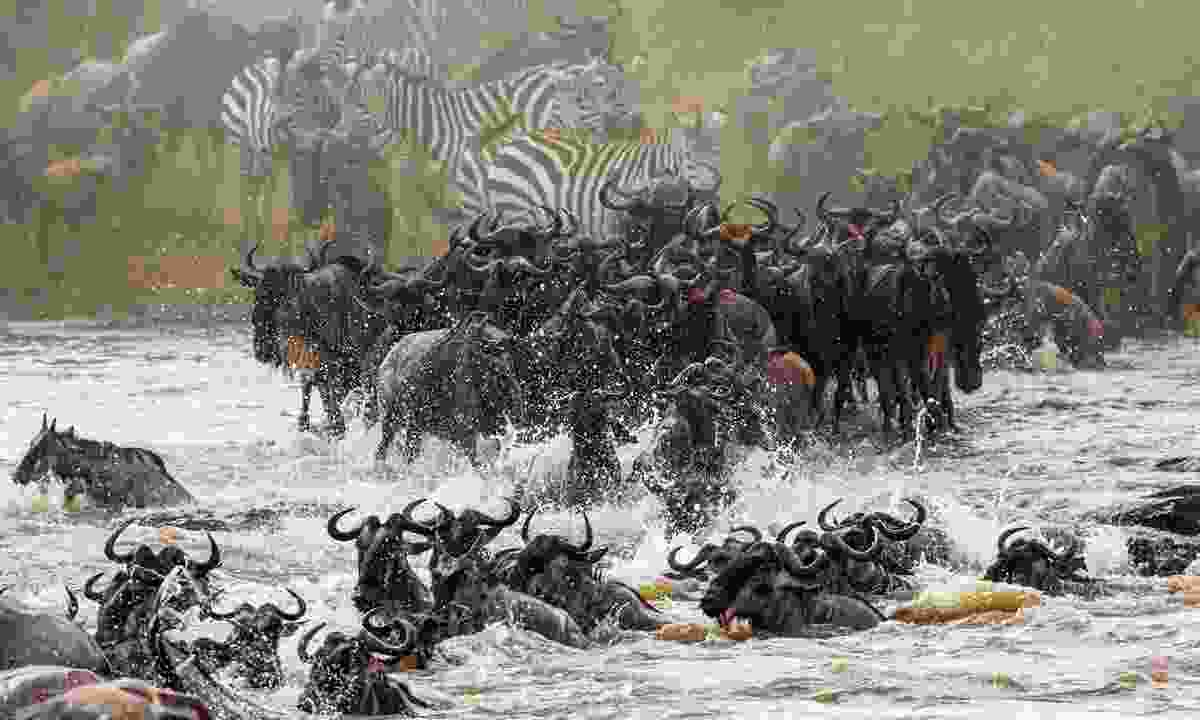 The great migration in Serengeti National Park (Shutterstock)