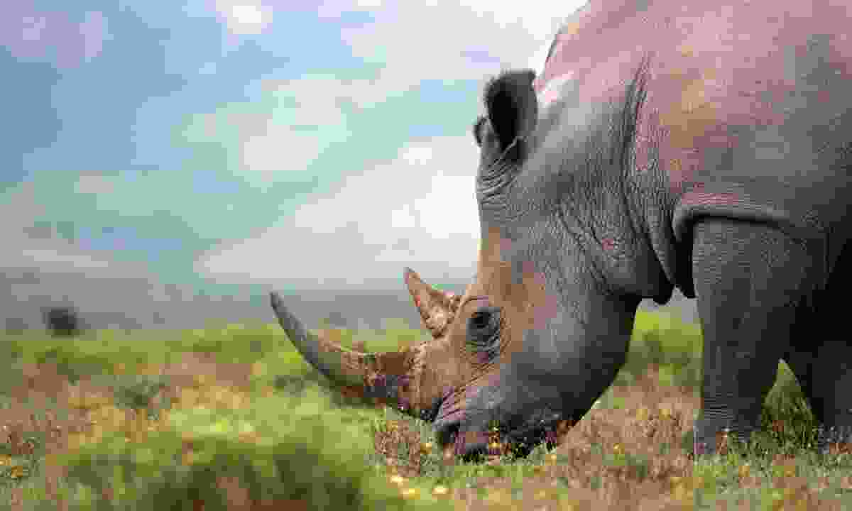The southern white rhino was saved from extinction largely thanks to efforts in South Africa (Shutterstock)