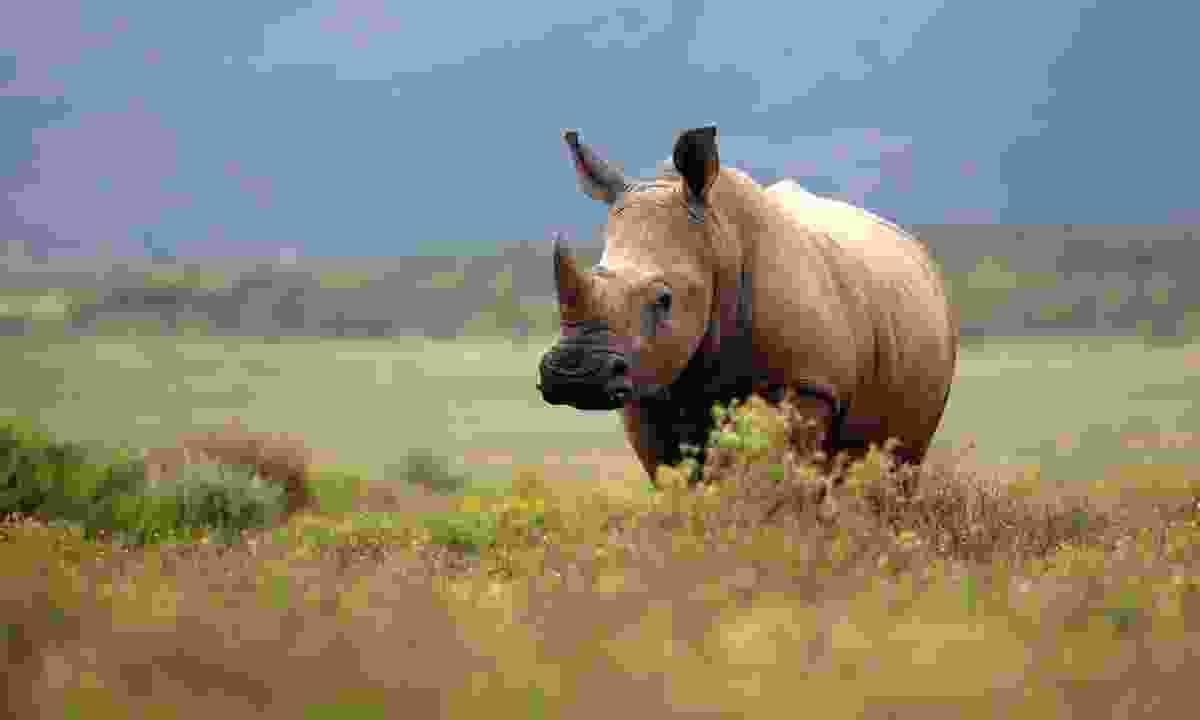 White rhino in Kruger National Park (Shutterstock)
