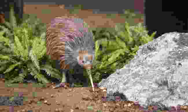 A kiwi, New Zealand (Shutterstock)