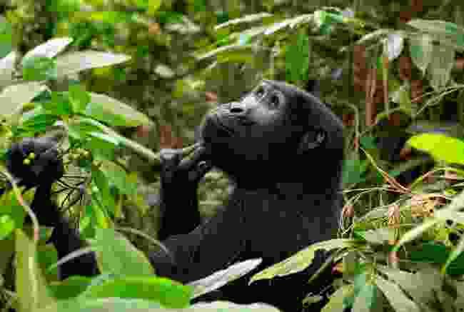 Mountain gorilla in Uganda (Shutterstock)