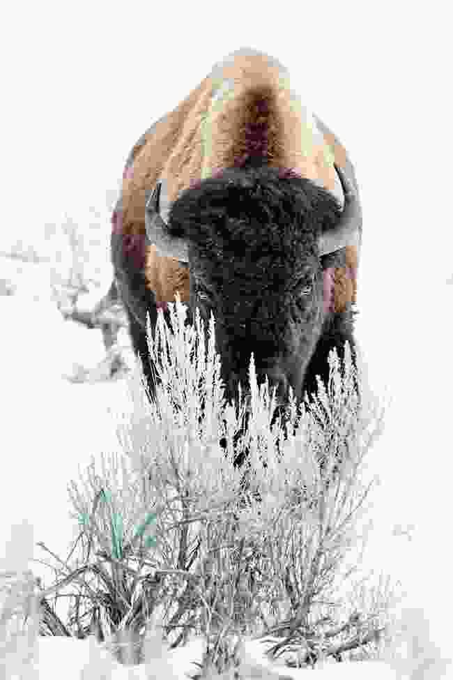 Bison, Montana/Wyoming, USA & Alberta, Canada, © Werner Lampert GmbH, (Photo Ramona Waldner)