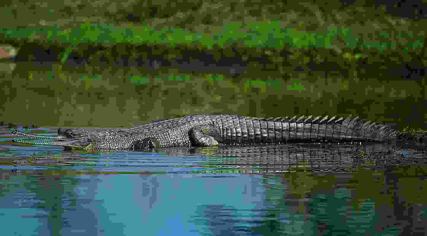 A gharial in Dudhwa National Park (Mark Stratton)